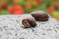 Snails on a rock royalty free stock photos