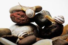 Snails on rocks Stock Images