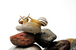 Snails on rocks Royalty Free Stock Photo