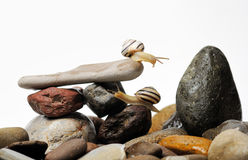 Snails on rocks Royalty Free Stock Images