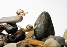 Snails on rocks. Two garden snails on colorful stones on white Royalty Free Stock Photo