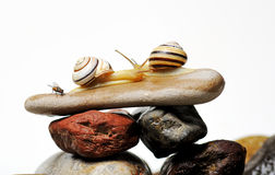 Snails on rocks Royalty Free Stock Photography