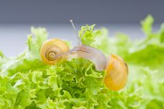 Snails on salad Royalty Free Stock Images