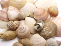 Snails of sea Royalty Free Stock Images