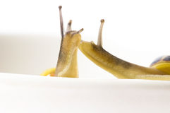 Snails. slow love Royalty Free Stock Image