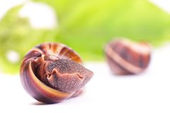 Snails snack Stock Photography