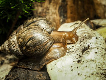 The snails with spiral shells Stock Photography