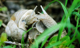 Snails. Started be very active after the rain in the garden royalty free stock image