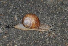 Snails on the stone. South Bohemia Stock Image
