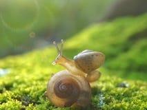 Snails sunbathing. Snail Sunbathing morning Royalty Free Stock Image