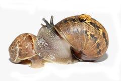 Snails together stock images