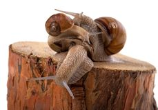 Snails on top of one another Royalty Free Stock Image