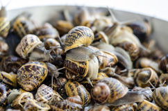 Snails. On a tray with white background Stock Photography
