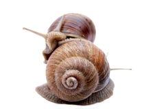 snails två Arkivfoton