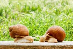 Snails two big spring summer garden fresh grass. Drops Stock Photos