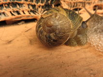 Snails. Two snails comparing them with their spiral shell and their barking with their horned eyes and mustaches below to scrutinize the ground Royalty Free Stock Images