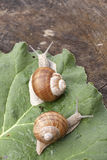 Snails at a walk. Two snails at a walk on leaf Royalty Free Stock Images