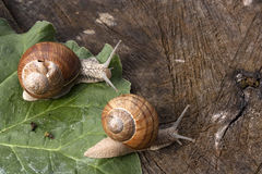 Snails at a walk. Two snails at a walk on leaf Royalty Free Stock Photography