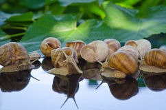 Snails walk on the glass next to the leaves Stock Images