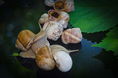 Snails walk on the glass next to the leaves Royalty Free Stock Photography