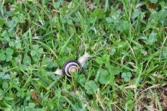 Snails walking on the grass Royalty Free Stock Photo