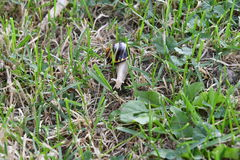 Snails walking on the grass Royalty Free Stock Image