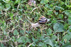 Snails walking on the grass Royalty Free Stock Images