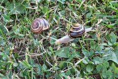 Snails walking on the grass Stock Photo