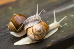 Snails on wooden table after rain Stock Images