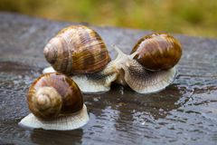 Snails on wooden table after rain Royalty Free Stock Images