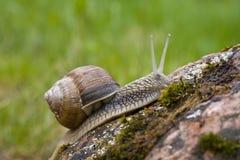 snailsten Royaltyfri Fotografi