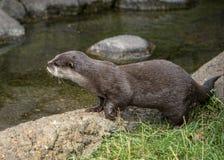 Snak gekrabde otter in gevangenschap stock foto