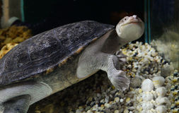Snak necked turtle Royalty Free Stock Photo