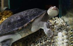 Snak necked turtle Royalty Free Stock Photo