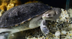 Snak necked turtle Royalty Free Stock Photos