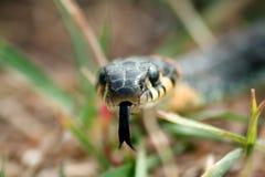Snake звероловство ужа в зеленой траве на летнем дне Стоковое фото RF