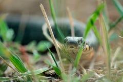 Snake звероловство ужа в зеленой траве на летнем дне Стоковая Фотография