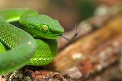 Snake, зеленые nebularis Trimeresurus гадюки ямы гористой местности Камерона гадюки дерева Стоковое Изображение RF