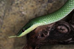 Snake-1. Green tree snake in the terrarium Royalty Free Stock Photos