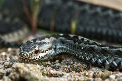 Snake 1 Royalty Free Stock Images