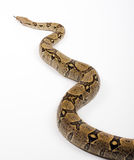 Snake. On white background (Boa constrictor Royalty Free Stock Photos