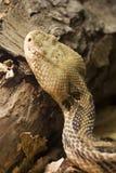 Snake. Timber Rattlesnake Crotalus horridus Stock Photos