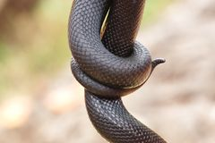 Snake Royalty Free Stock Images