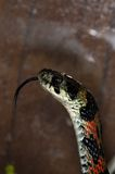 Snake-14. Green-red snake in the terrarium Royalty Free Stock Photography