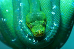 Snake. Green snake on a tree in singapore zoo stock image