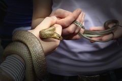 Snake. Detail of two serpents on their hands Stock Photo