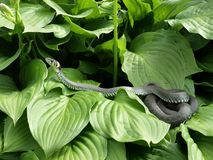 The snake. The adder on the green leafs Royalty Free Stock Photography