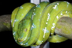 Snake 15. Green python in spiral position stock images