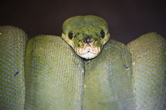 Snake. \\\'s face, a green python Royalty Free Stock Images