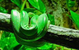 Snake. A green snake hanging on a tree Stock Image